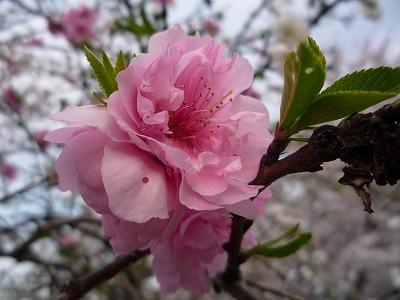 八重桜P1049.jpg